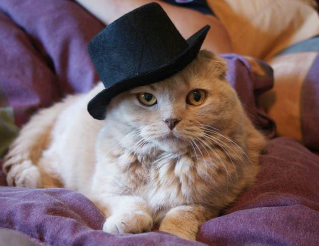 cartola para gatos